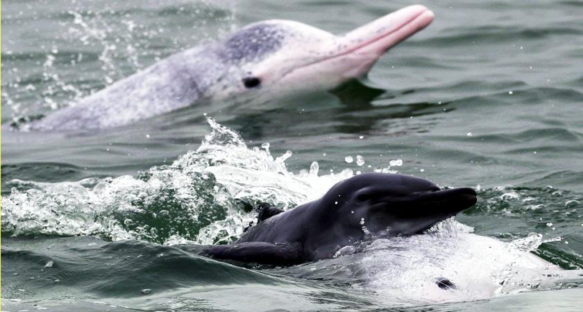 萌化了!中華白海豚寶寶暢遊廣西三娘灣