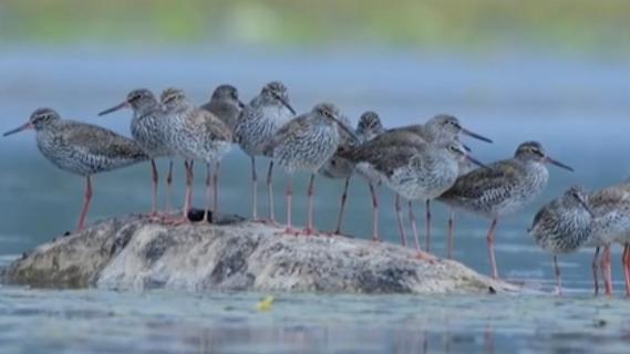 雲南保山:43只紅腳鷸遷徙途中停留濕地公園
