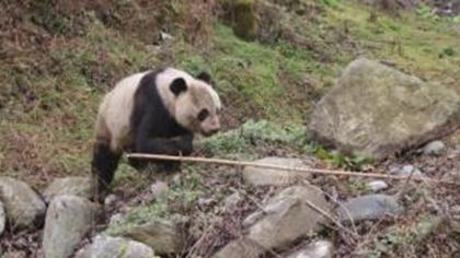 甘肅隴南:野生大熊貓受傷 或爭奪配偶造成
