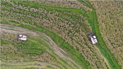 江西萬安:油菜喜豐收 農戶收割忙