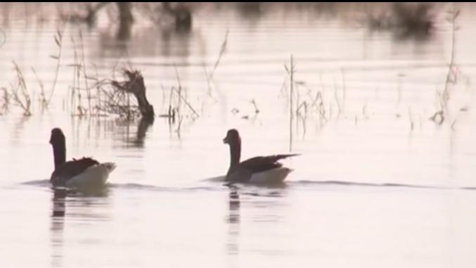 內蒙古:居延海濕地 候鳥紛至築巢孵化
