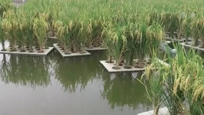 四川:魚塘上種水稻 水産稻谷雙豐收