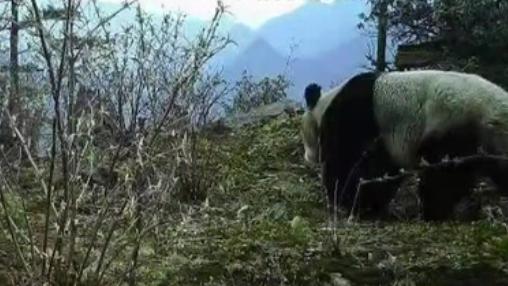 四川:八月林自然保護區首次拍到野生大熊貓
