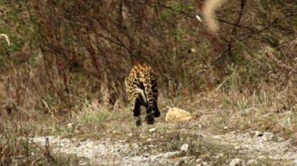 陜西:大熊貓國家公園拍攝到金錢豹影像