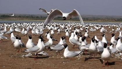 陜西:大批遺鷗棲息茍池濕地 繁衍後代