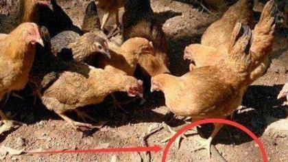 驚險一幕:想吃雞? 20斤蟒蛇爬進雞舍