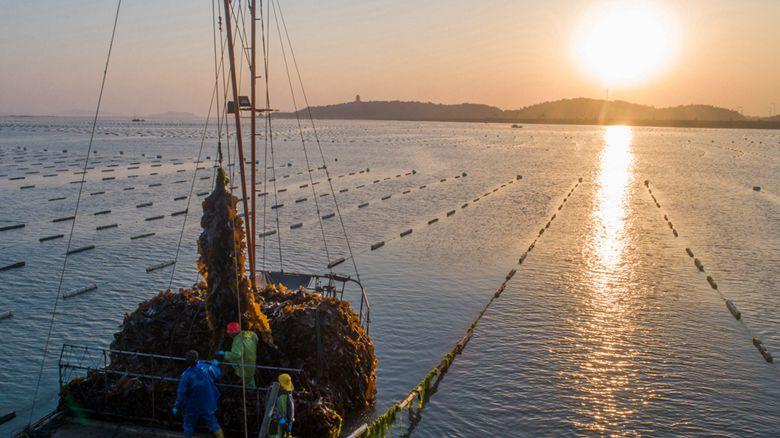 福建湄洲灣開啟海帶豐收季