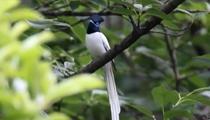 安徽績溪:成群壽帶鳥返回績溪山林棲息地