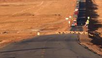 遷徙産仔季 藏羚羊集體穿越青藏公路