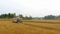 夏糧陸續進入成熟期:我國西南麥區喜獲豐收