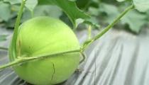廣西百色:發展蔬菜産業 農民增收有了新途徑