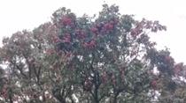 600多年古荔枝樹採摘權拍賣