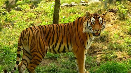 食不果腹 印尼動物園考慮用鹿喂老虎