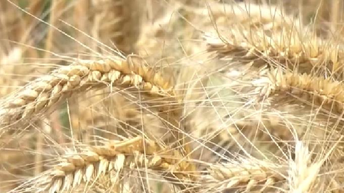 山西河津:小麥開鐮收割 全力保障夏收工作