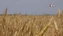 農業農村部:全國小麥收獲進度約兩成 跨區機收展開