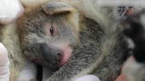 澳動物園誕生林火後首只考拉寶寶