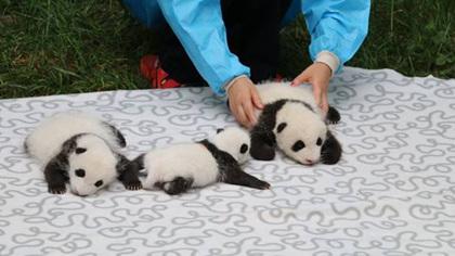 三只大熊貓寶寶初長成
