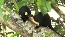 雲南:兩只野生巨松鼠同框現身保山龍陵