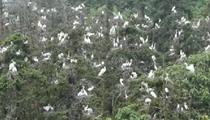 """江西:""""鷺鳥王國""""2萬小鷺鳥振翅試飛"""