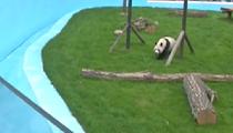 遼寧鞍山:大熊貓入住東北新家 兒童節首次亮相