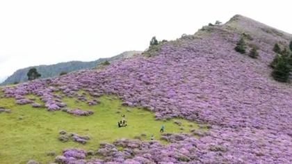 無人機下的百草坡 索瑪花開遍山野