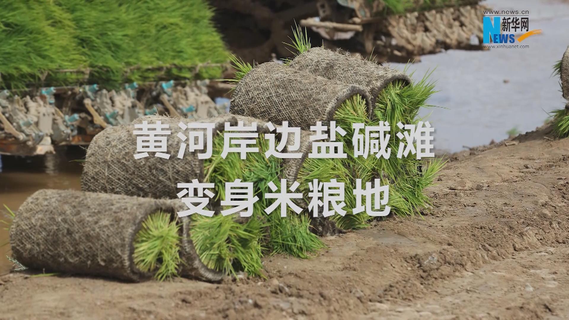 黃河岸邊鹽鹼地變身米糧地