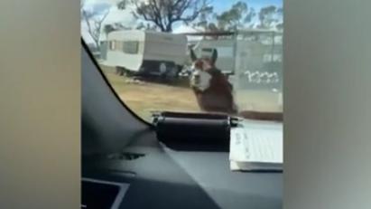 澳大利亞:羊駝擋車 逗笑警察