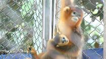 微視頻:合肥野生動物園首次自然繁育出川金絲猴