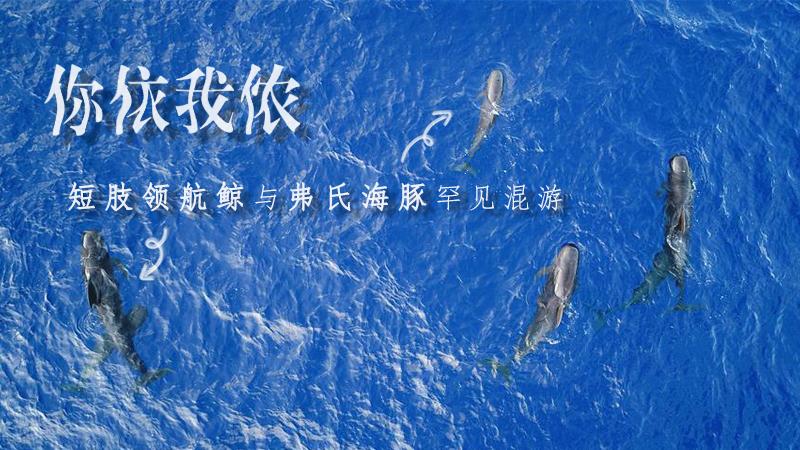 你儂我儂 短肢領航鯨與弗氏海豚罕見混遊