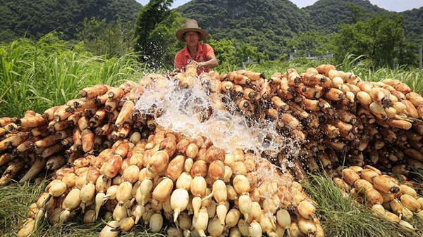 廣西柳城:喜收致富藕