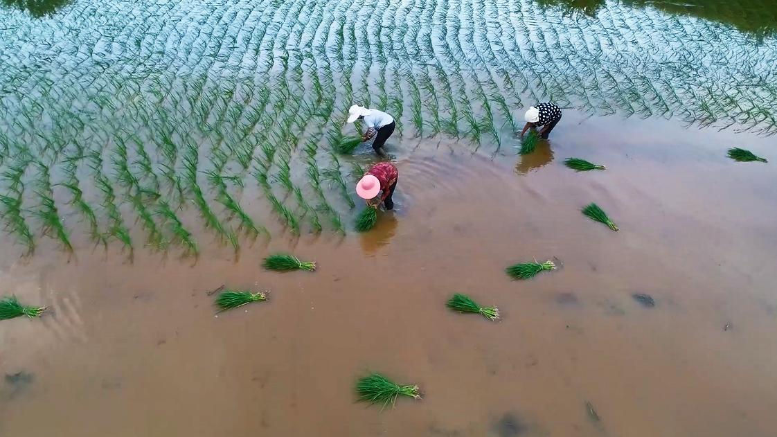 江西廬山:晚稻補種趕農時