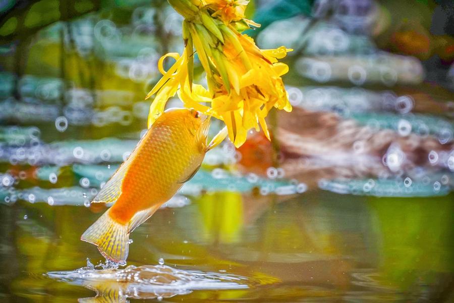 """""""魚吃花""""畫面生趣靈動,你見過嗎?"""