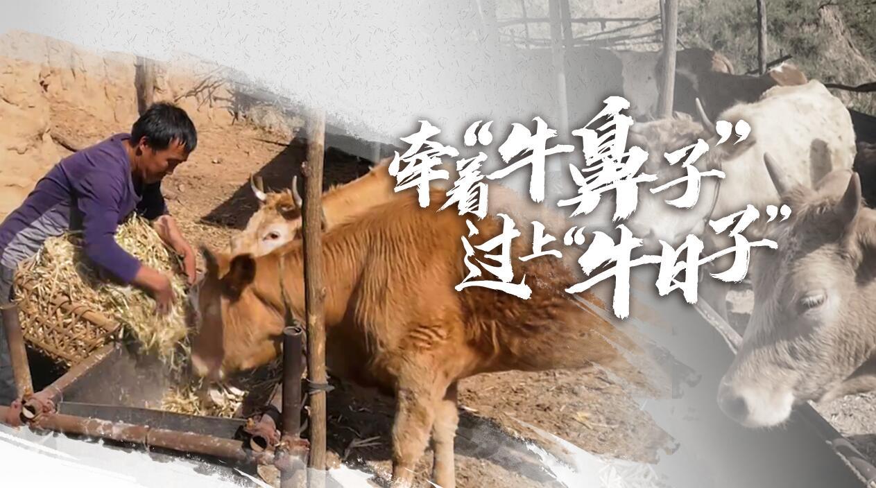 """【脫貧印記】牽著""""牛鼻子"""" 過上""""牛日子"""""""
