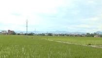 廣東:晚稻栽插基本完畢 種植面積超去年