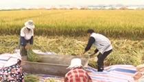 雲南蒙自:雜交水稻試驗片區平均畝産1134.6公斤