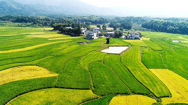 水稻豐收季 田園交響詩
