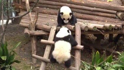 """熊貓小寶們的""""迷惑行為"""""""