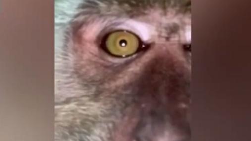 """馬來西亞猴子偷手機瘋狂自拍 全是""""臭美""""照"""