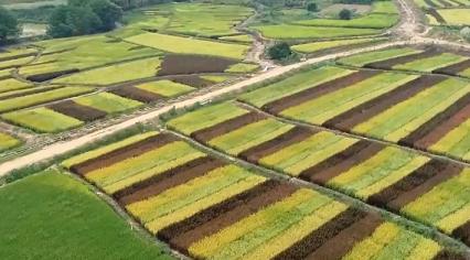 江西廬山:彩色稻田繪豐收