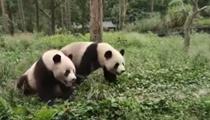 """河南欒川:兩只大熊貓""""安家""""欒川"""