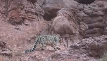 新疆:無人機拍攝到雪豹巡山影像