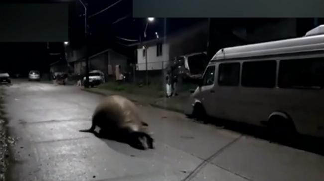 暖心!智利一象海豹誤入街區 民眾齊心送它回家