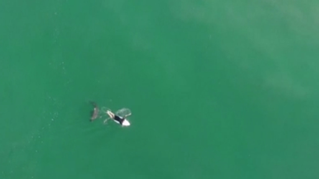 驚險!險遭攻擊 澳大利亞無人機發警報驅離鯊魚