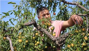 中國冬棗之鄉特色種植助力村民奔小康