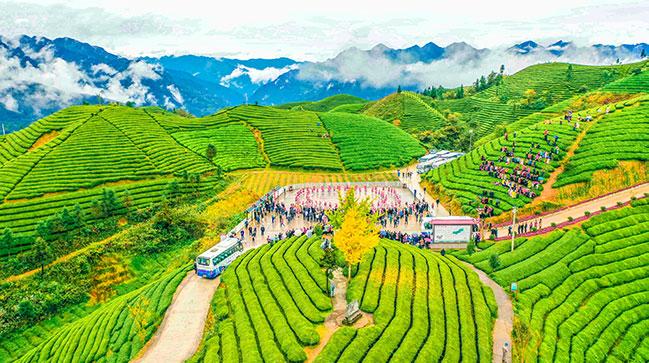 木耳山萬畝茶樹迎客來 鳥瞰湖北鶴峰最美茶園