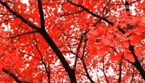 河南:雲臺山等景區進入紅葉最佳觀賞期