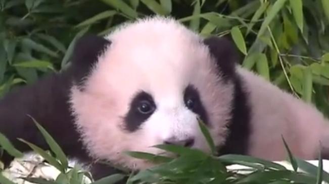 """好萌!首只在韓誕生大熊貓取名""""福寶"""""""
