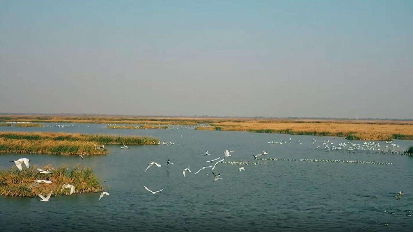 10多萬只候鳥飛臨七裏海!萬鳥翔集,你見過嗎?
