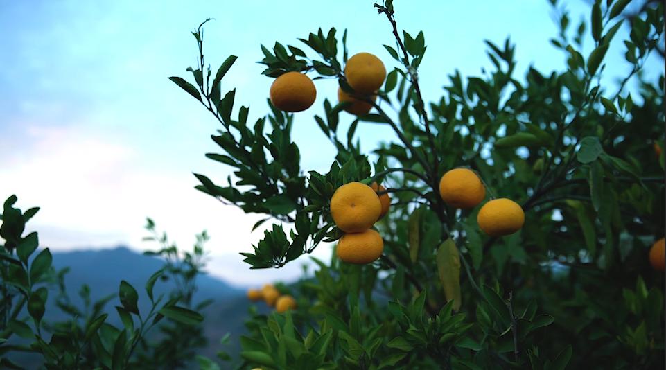 初冬裏 峽口柑橘酸甜正當時