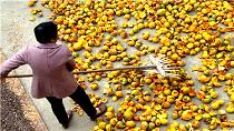 江西樂安:小瓜蔞助增收
